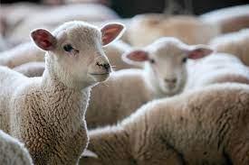 Ovelhas e cabras no radar do Oriente Médio